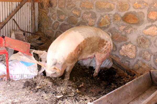 cerdo-china-1