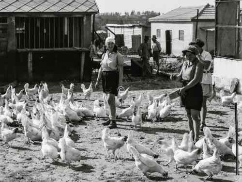 Fütterung des Geflügels auf jüdischer Farm Borochov in Palästina 1935