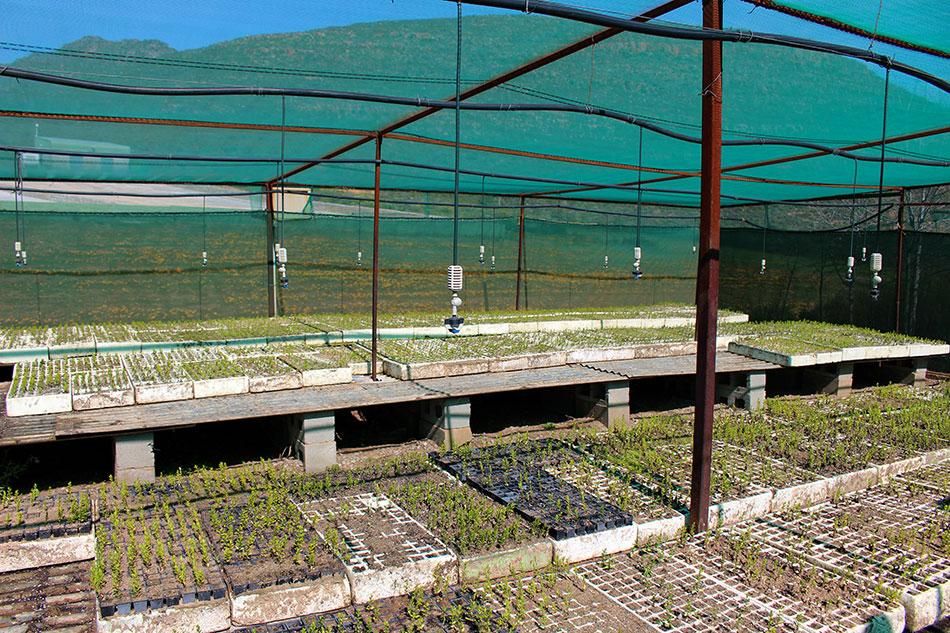 Pépinière de buchu à Skimmelberg an Afrique du Sud