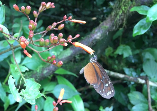 Volcan Mombacho Nicaragua Butterfly