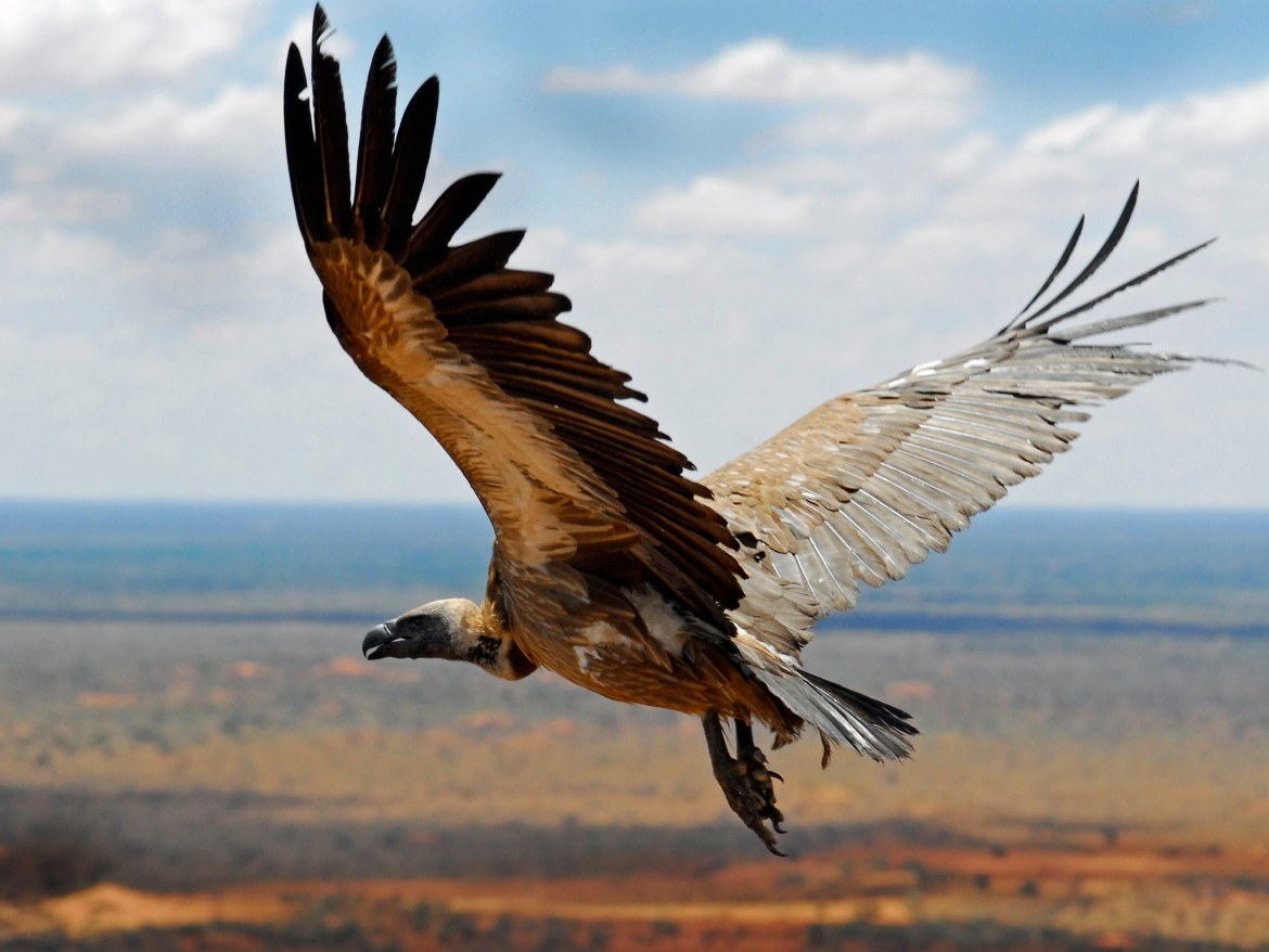 A vulture soaring over one of HKLM's client's reserves.