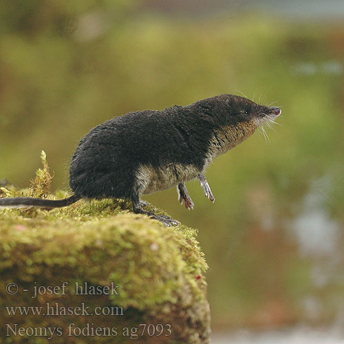 Neomys fodiens, water shrew