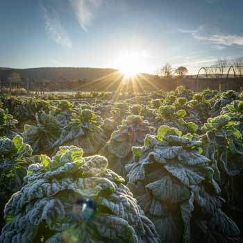 brussels_sprout_fields_350x350
