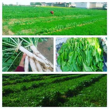 spinach crops