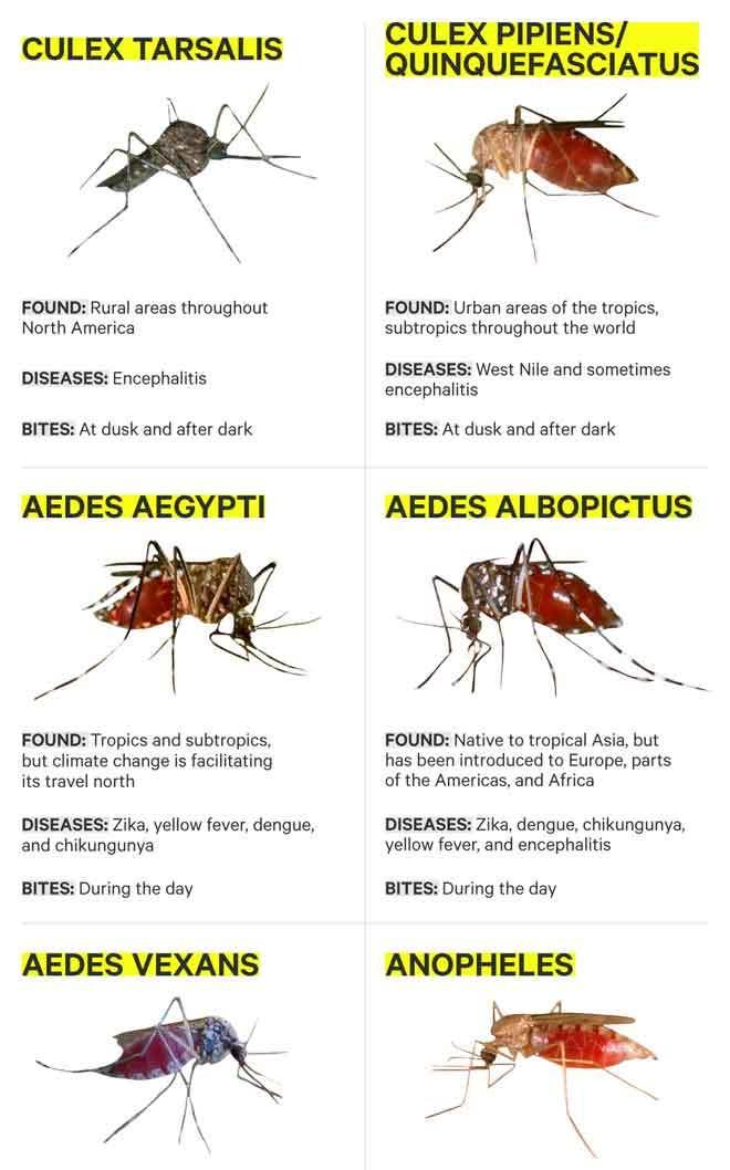 mosquito-zika-virus-transmitters