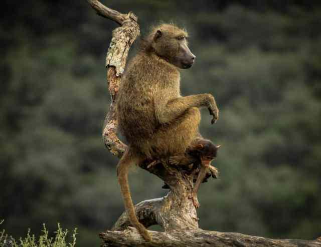 where do baboons live