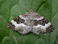 zhandritaz: common carpet moth