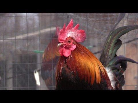 Hmong Live In The Northern USA Chicken Farm/hmoob meskas yug Qaib 2020