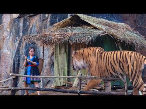 primitive hmong house and a girl attacks a tiger tsev hmoob thaum ub sij hawm tseem muaj tsov