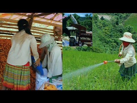 LIFE AGRICULTURE HMONG IN VIETNAM #104, 7/2020