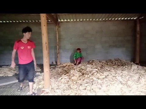 Người hmong vùng cao Thu ngô về đến nhà thì phải làm gì