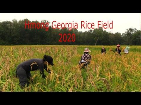 hmong Georgia Rice Field/Hmoob Meskas Hlais Nplej Sept.12,2020 Part 1
