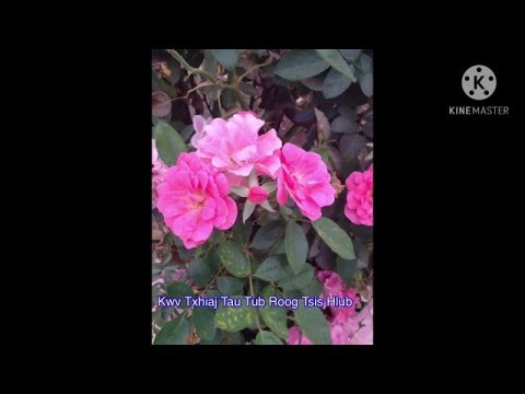 Kwv Txhiaj Tau Tub Roog Tsis Hlub  11/15/20