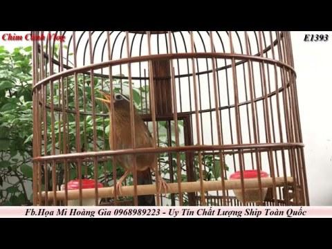 E1393 Chim Họa Mi Hót , Tiếng Khèn Bản Mông Lại Cất Tiếng , Chim Thuần Hót Tốt