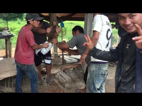 Hmong tua dev noj txaus ntshai herb