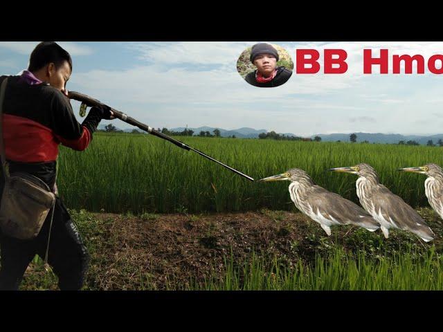 ล่ายิงนกกระยางยาวตามทุ่งนา Ep100 [BB Hmong]