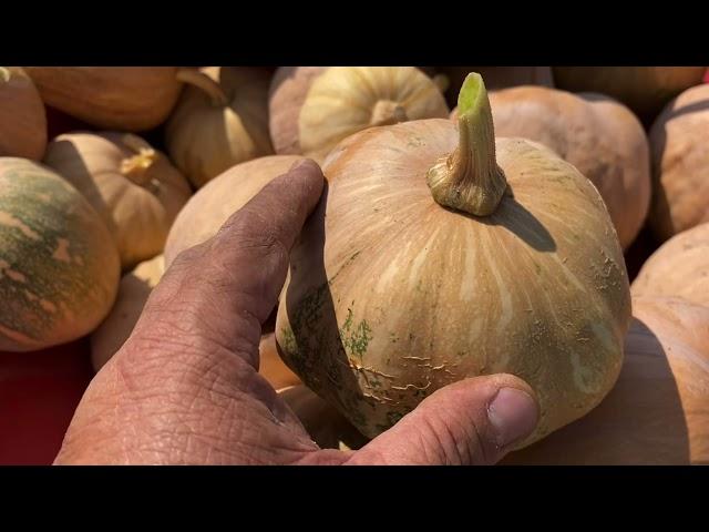 Hmong Pumpkin Variety * Taub Dag Hmoob Cog Nyob Fresno