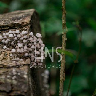 Panama Bocas del Toro Mushroom