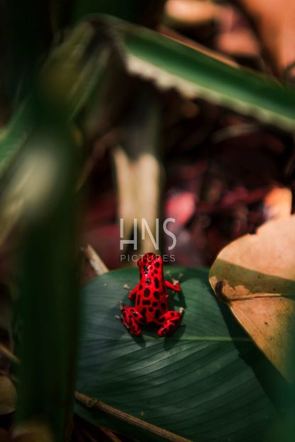 Panama Bocas del Toro Red FrogWildlife