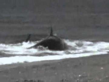 Picture about Man Taken by a Killer Whale - Video