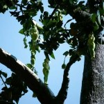 Picture about Nareepol Tree, Believe it or not