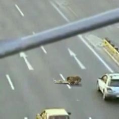 Picture: Video of a Hero Dog trying to rescue a wounded Dog on highway