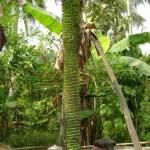 Photograph of Huge Banana Bunch