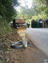 Picture about Three Headed Snake Found Live in India