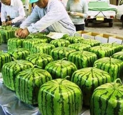Picture of Square Watermelons in Japan