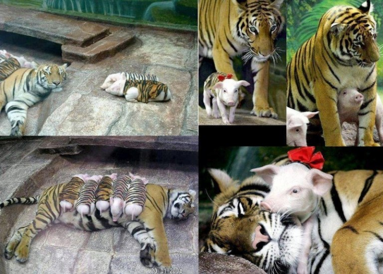 Picture about Grieving Mother Tiger Caring for Piglets in Tiger Skins