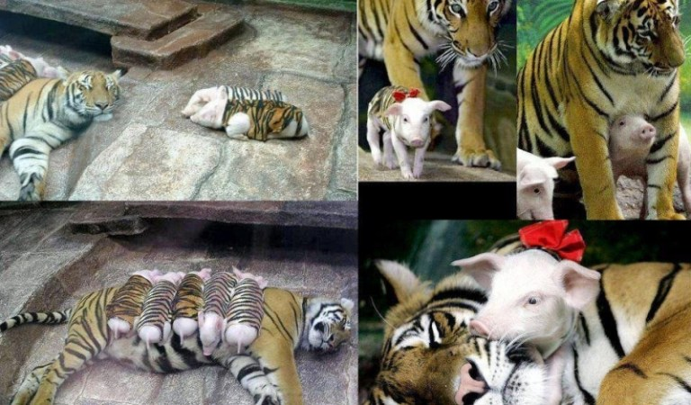 Grieving Mother Tiger Caring for Piglets in Tiger Skins – Fiction!
