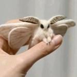 Picture about Venezuelan Poodle Moth