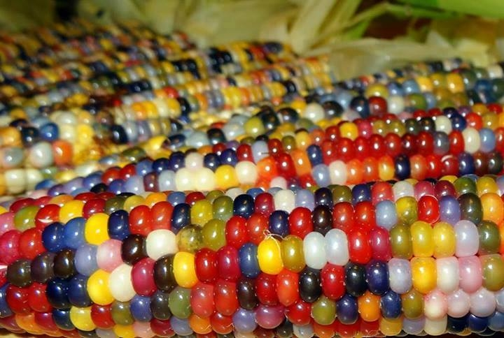 Picture: Native American Farmer Grows Amazing Multi-Colored Corn