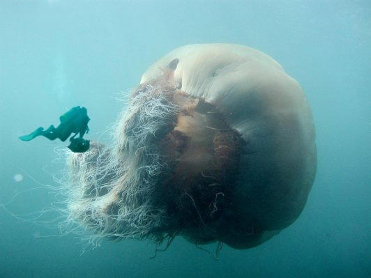 About Picture of Giant Lion's Mane Jellyfish