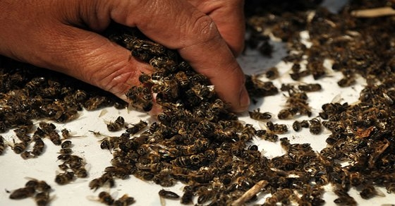 Picture about 37 Million Bees Found Dead In Ontario, Canada After Planting Large GMO Corn Field