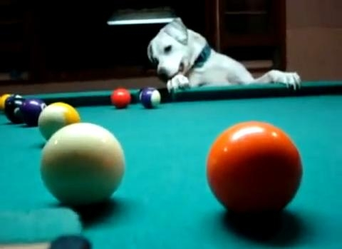 Picture about Amazing Dog Playing Snooker