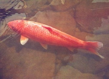 Picture about Hanako Koi – Worlds Oldest Fish – 226 Years Old
