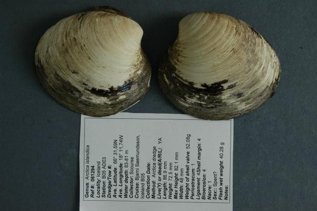 Picture about Ocean Quahog Ming - World's Oldest Animal, 507 Years Old