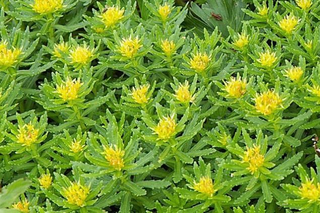 Picture about Sanjeevani Booti Like Herb Found in Himalayas