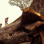 Picture about World's Oldest Tree 'Accidentally' Cut Down By Loggers in Amazon