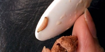 Picture about Worms Found in Kellogg's Chocos