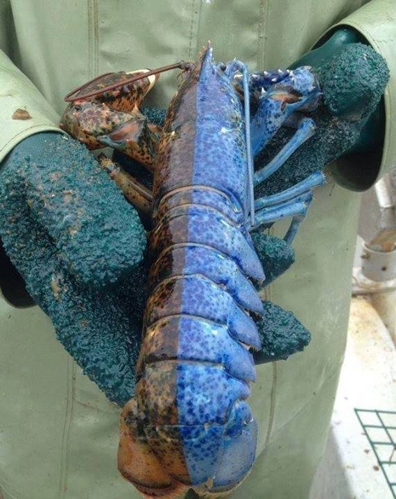 Picture of Incredibly Rare Half Blue Male-Female Lobster