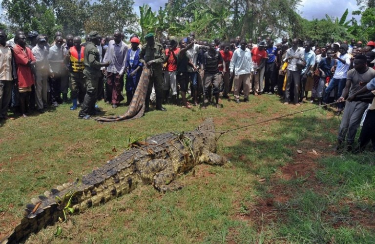 Picture of Massive, Man-Eating One-Ton Crocodile Captured in Uganda