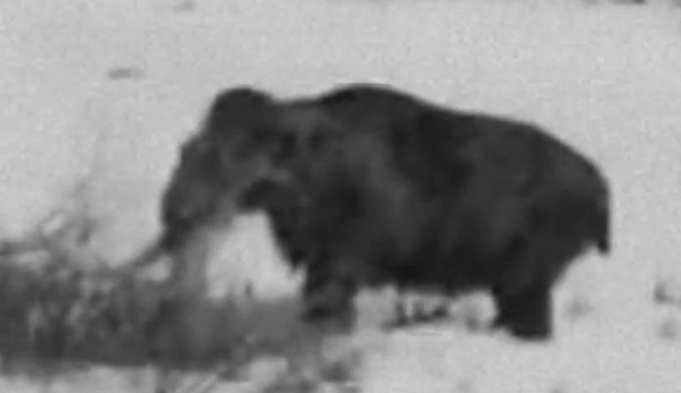Picture about Real Woolly Mammoth Sighting in Siberia in 1943