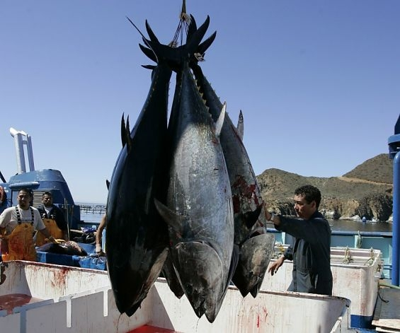 Picture Warning All Bluefin Tuna Caught in California are Radioactive