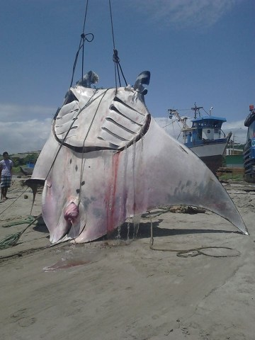 Picture of Gigantic Manta Ray Caught by Peruvian Fishermen