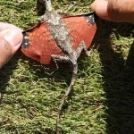 Picture about New Dragon Species Discovered in Indonesia