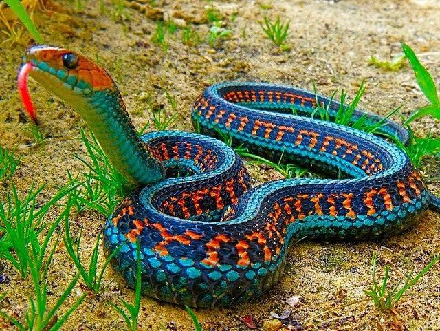 Picture about The Most Colorful Snake, California Red-Sided Garter