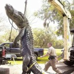 Picture of Mammoth Alligator Found in Waterway Killed