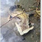 Picture of Unusual Amphibian Diplocaulus Found